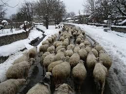 """Фотография, которая объясняет феномен массовой миграции литовцев на Запад: стадо овец, которые идут """"туда же куда и все""""."""